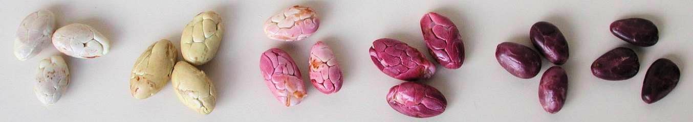 Les fèves de différents types de cacao varient en concernant son niveau de pigmentation. Photo: G. Ramos